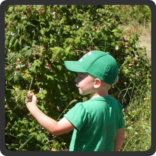 My little man in the berry field. I think he ate more than he picked.